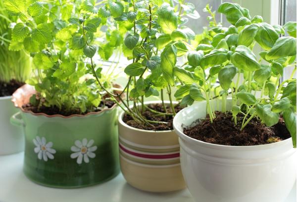 Fresh herbs in pots on a window